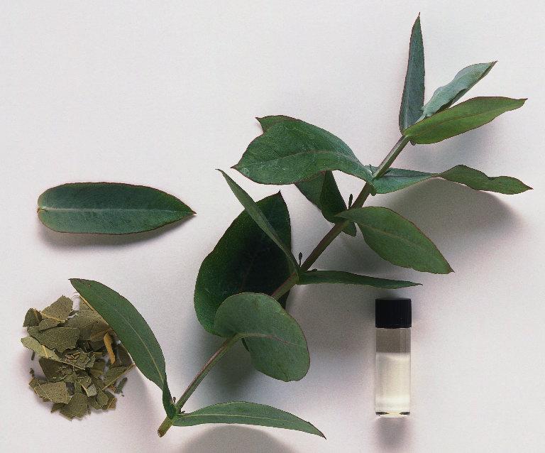 El eucaliptus reiki a domicilio - Informacion sobre el eucalipto ...