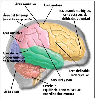 Caracteristicas del hemisferio cerebral derecho e izquierdo